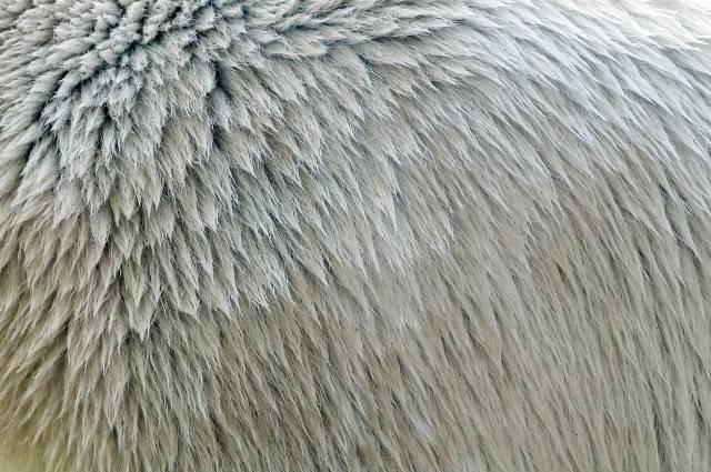 futro niedźwiedzia polarnego