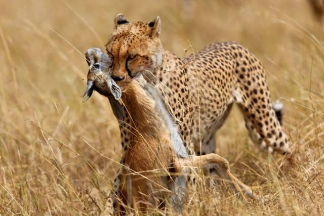 gepard ze zdobyczą