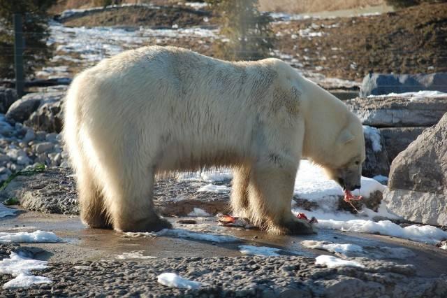 niedźwiedź polarny w zoo