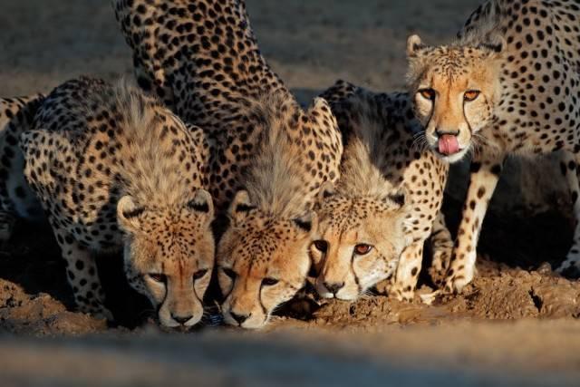 gepardy ssaki