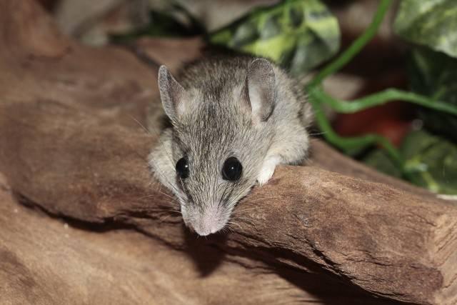 zwierzęta domowe mysz