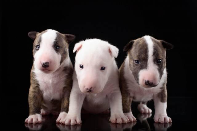wybór odpowiedniej rasy psa - gdzie kupić szczeniaka