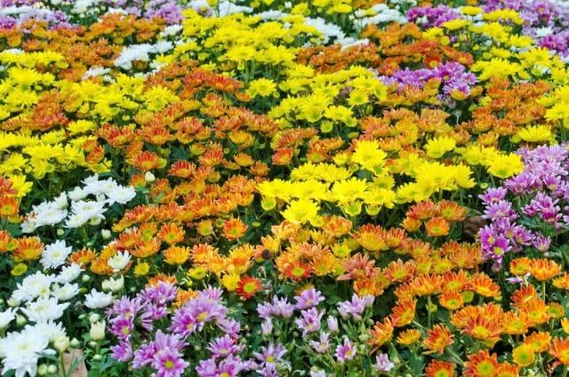 kwiaty jesieni chryzantemy