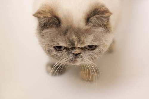 Kot Egzotyczny Exotic Cena Charakter I Pielegnacja
