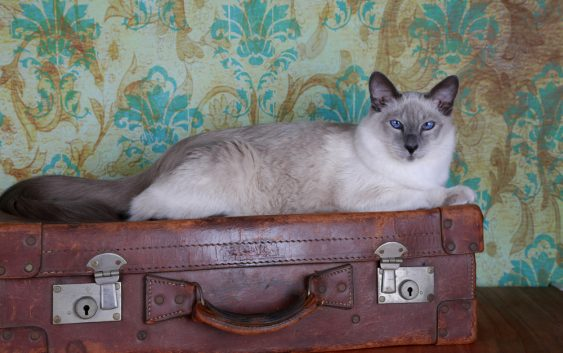 Kot balijski (Balinese cat)