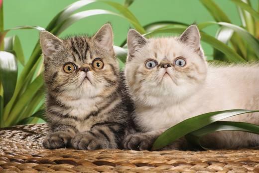 koty egzotyczne