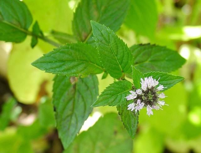 kwiat mięty pieprzowej