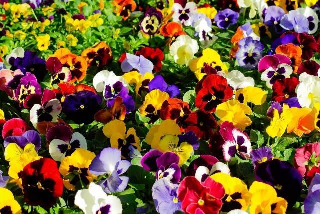 bratki kwiaty rabatowe dwuletnie