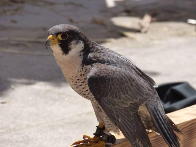 zagrożone gatunki zwierząt w polsce Sokół