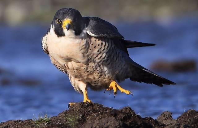 ptak sokół wędrowny