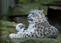 Irbis, pantera śnieżna (Panthera uncia)