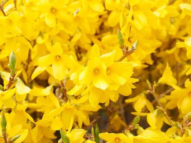 wiosenny krzew o żółtych kwiatach