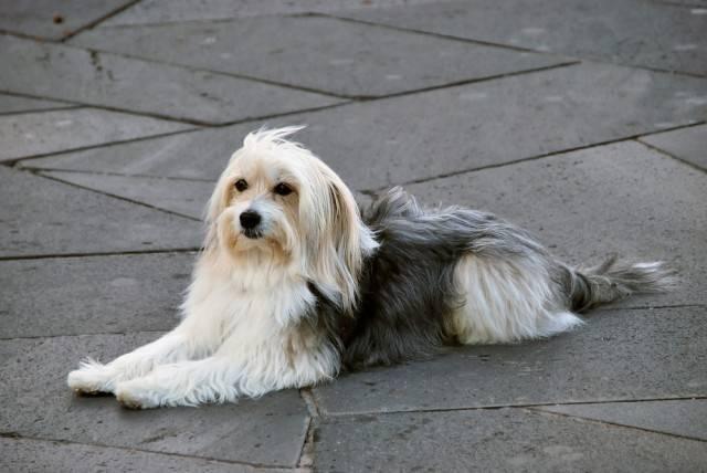 pies owczarek katalońśki
