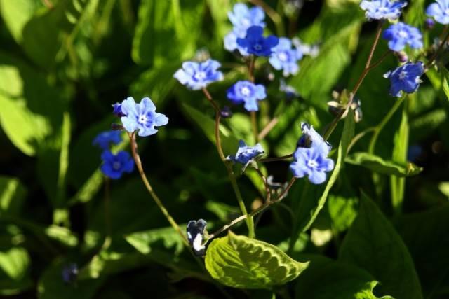 roślina odstraszająca nornice ułudka Omphalodes verna