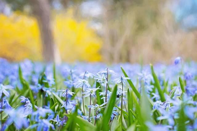 wiosenne kwiaty cebulice syberyjskie