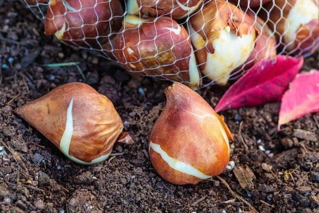 Bulwy, cebule i kłącza - cebule tulipanów