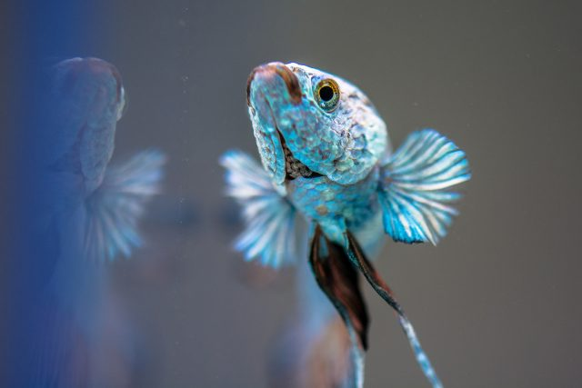 ryba bojownik samiec