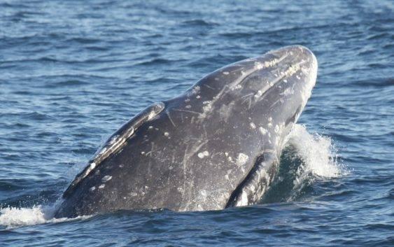Ile ton może ważyć wieloryb?