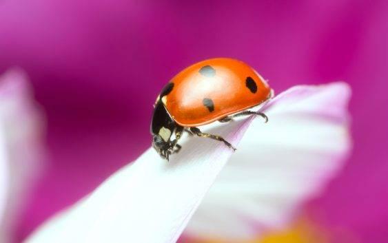 Czy biedronka to pożyteczny owad czy nie?