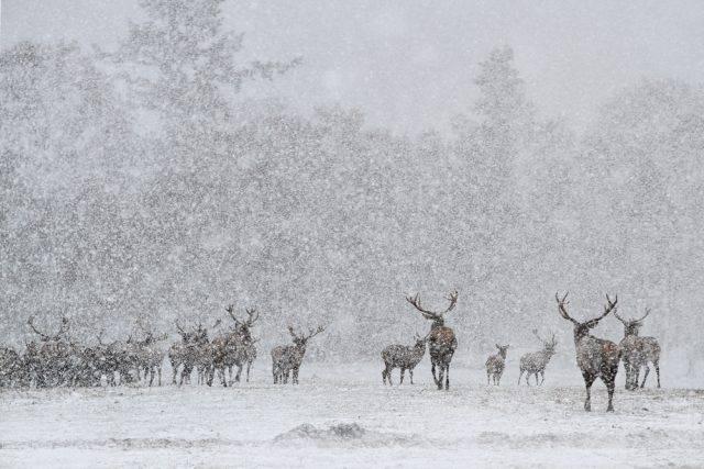 jelenie występowanie
