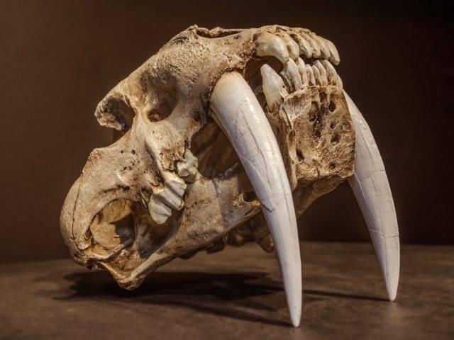 Smilodon Tygrys Szablozębny Prehistoryczny Wielki Kot Drapieżny