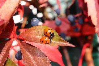 owady biedronka
