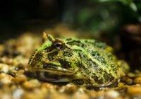Żaba rogata (Ceratophrys ornata)