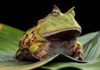 Żaba rogata cena, rozmnażanie, wybór terrarium