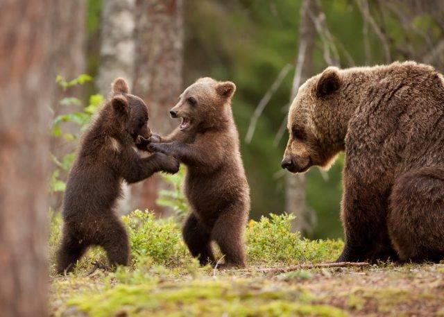 młode niedźwiadki