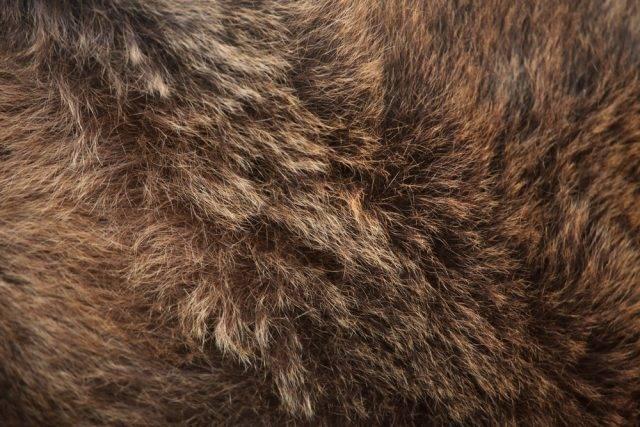 niedźwiedź brunatny sierść