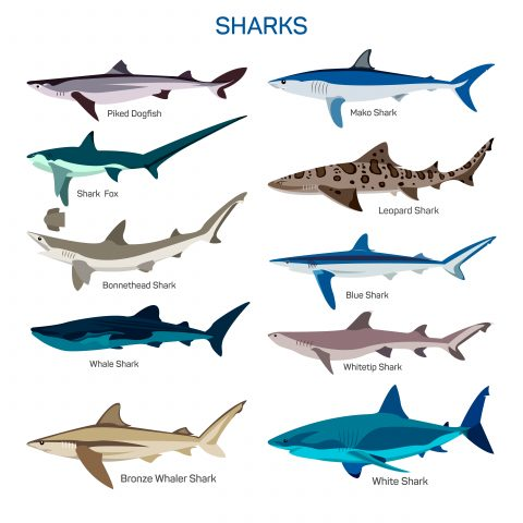 ryby rekiny