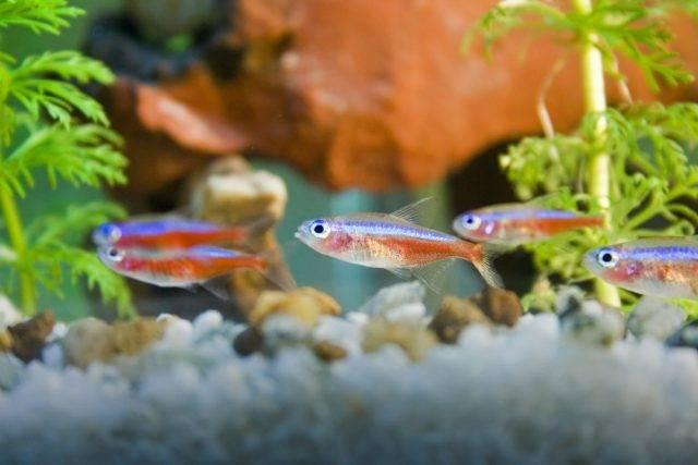rybki neonki