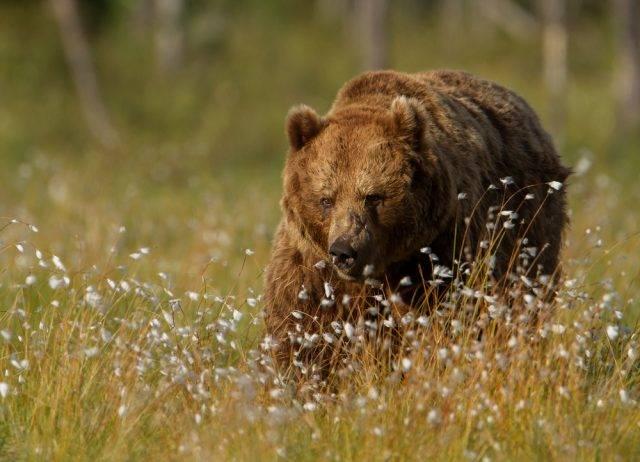 niedźwiedź europejski