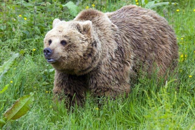 brunatny niedźwiedź