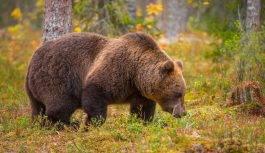Niedźwiedź brunatny (Ursus arctos arctos)