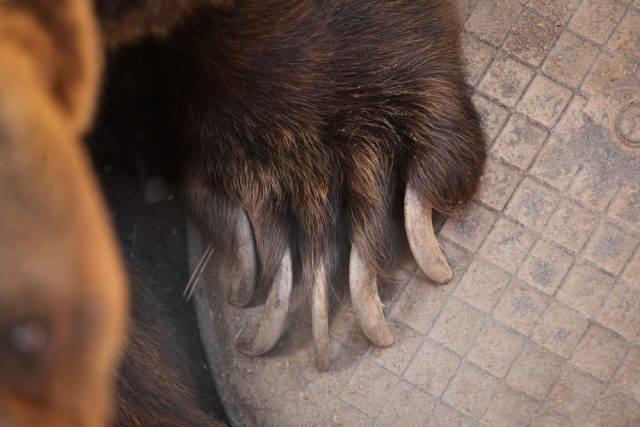 niedźwiedź brunatny pazury