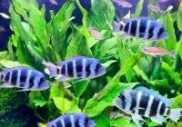 Pielęgnice (Cichlidae)