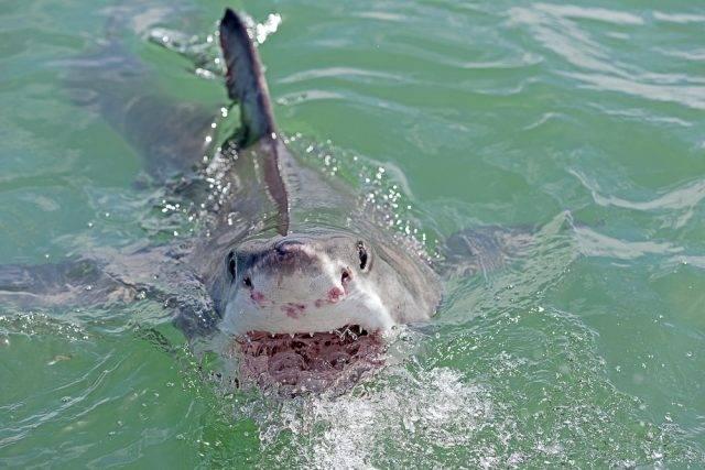 polujący rekin