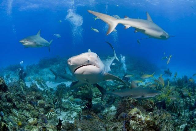 polujące rekiny