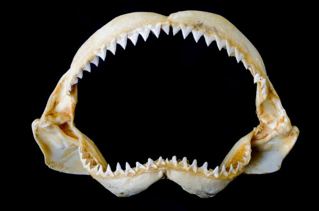 zeby rekina
