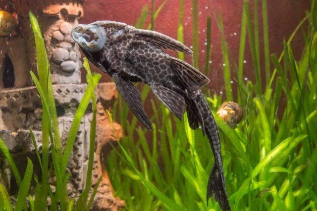 Zbrojnik niebieski, wąsacz niebieski (Ancistrus dolichopterus)