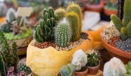 Kaktusy doniczkowe