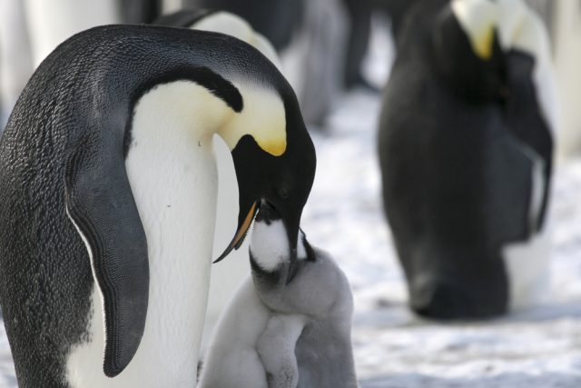 karmienie pingwina