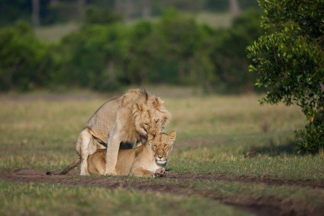 kopulacja lwów