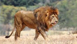 Lew afrykański (Panthera leo)