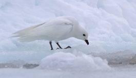 Petrel śnieżny (Pagodroma nivea)