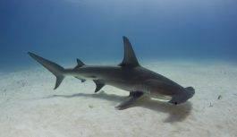 Rekin młot (Sphyrna zygaena)