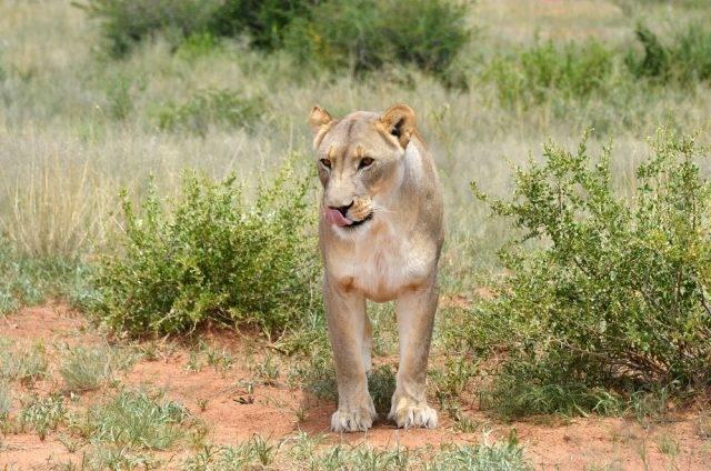 lwica afrykańska