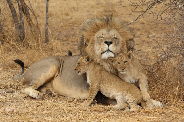 lwe i lwiątka