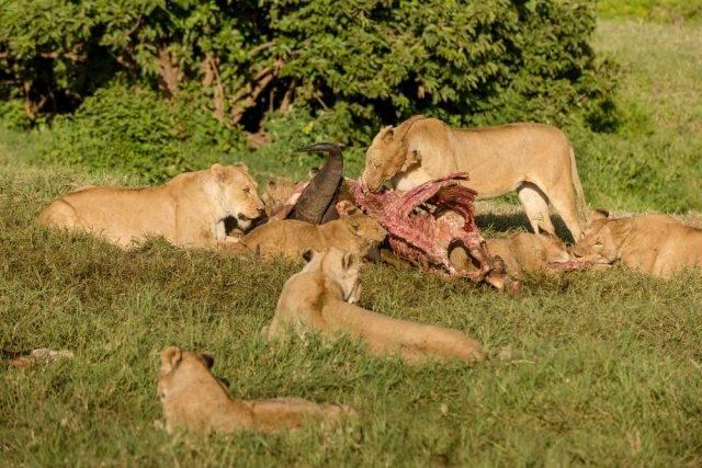 stado lwów jedzące bawoła